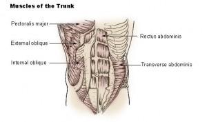 Anatomie des abdos